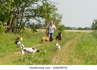 Dog sitter walks  with many dogs on a leash. Dog walker with different dog breeds in the beautiful nature