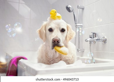 Dog sitting in bathtub with squeaker on his head and sponge in his mouth