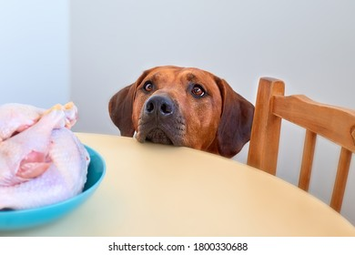 Dog sitting behind the kitchen table and looking at raw chicken meat Dog begging for food Hungry dog waiting for food