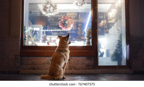 the dog is sitting by the shop window at Christmas. Saint-Petersburg, Russia. December 16, 2016