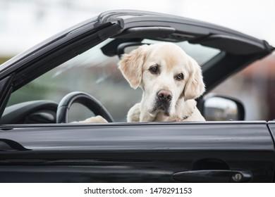 Dog sitting in a Cabriolet