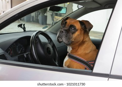 Dog sitting in car on driver seat