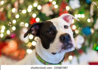 Dog sitting in front of the Christmas tree