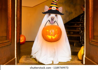 dog sitting as a ghost for halloween in front of the door  at home entrance with pumpkin lantern or  light , scary and spooky, for a trick or treat