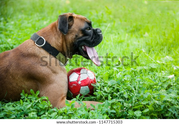 Dog sitting in grass next to a ball on hot summer day