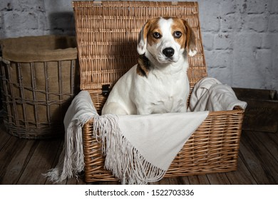 Dog sitting inside an empty wicker hamper in front of a white brick background.