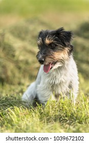 Dog is sitting in a late summer meadow - Jack Russell 2.5 years old