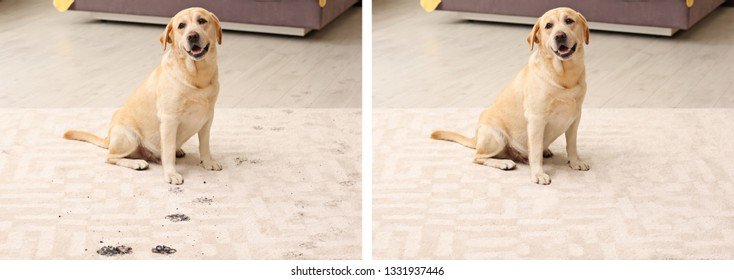 Dog sitting with muddy paw prints on carpet. Before and after cleaning