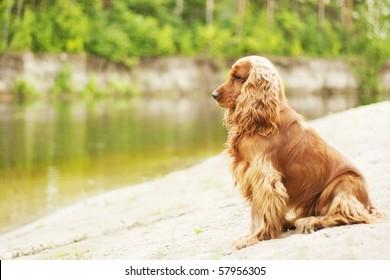Dog sitting near river. English cocker spaniel