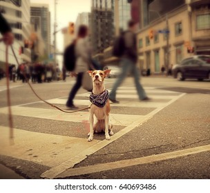 Dog sitting on a busy street, Toronto Downtown, Canada