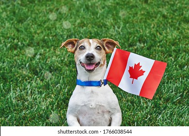 Dog sitting on grass with canadian flag on green grass. Celebration of canada day.Happy Canada day. 1st July celebrate national holiday of Canada called as Canada's birthday