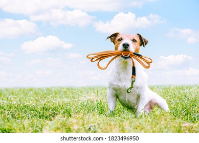 Dog sitting on green grass in field holding leash in mouth invites for long walk or hike