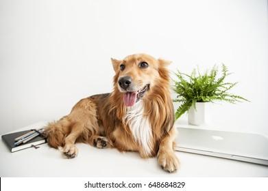 Dog sitting on office desk happy