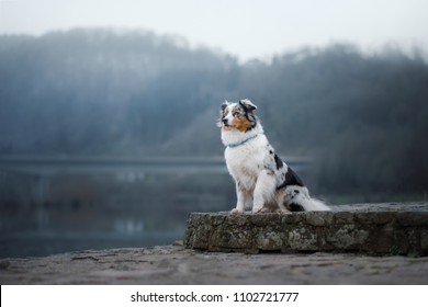 Dog sitting on the promenade near the river. Australian Shepherd in nature