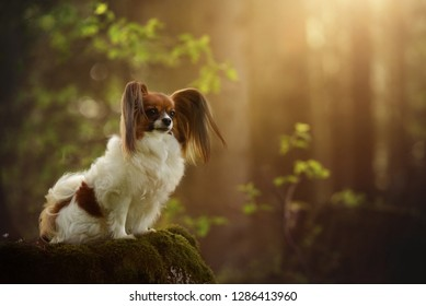 Dog sitting on the trunk in the forest. Papillon is in the forest. Little dog.