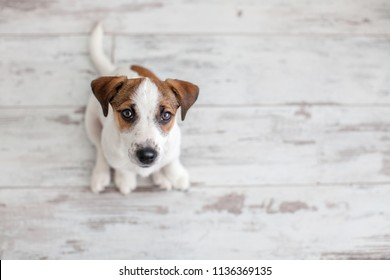 Dog sitting on wooden floor. Puppy jack russell terrier looking up