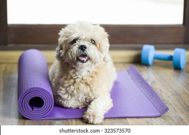 Dog sitting on a yoga mat, concentrating for exercise and listening to a trainer