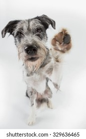 Dog sitting in studio looking at the camera lifting paw for a high five