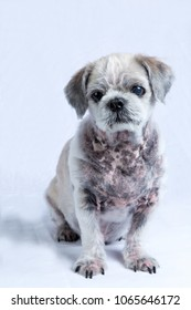 A dog with skin disease on a white background