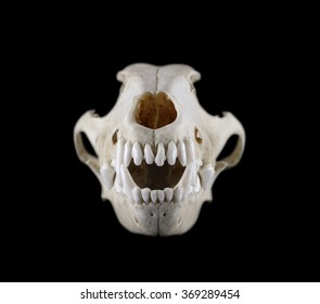 Dog skull grinning  isolated on a black background
