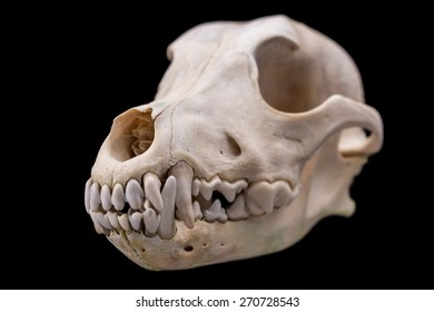 Dog skull isolated on black background. Animal skull.