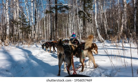 Dog sled on a snowy road in the forest. The animals have stopped for a breather, eating snow. Ahead is a silhouette of a man. Back view.