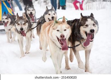 Dog sled race with husky dogs