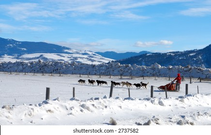 Dog Sled Team in Wyoming