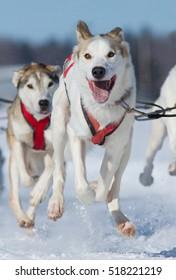 dog sledding race, Quebec, Canada