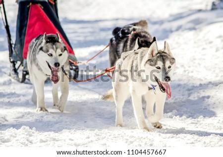 Dog Sledding Siberian Husky Sled Dog Stock Photo (Edit Now ...