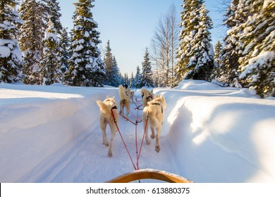 Dog sledge riding