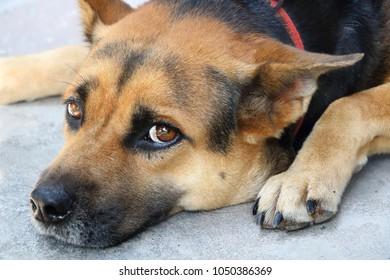 The dog sleep on the floor looking camera like thinking somthing, feeling sad