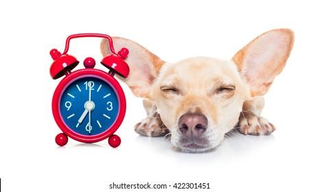 dog  sleeping with alarm clock isolated on white background