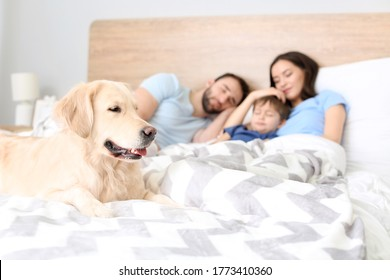 Dog with sleeping family in bed at home