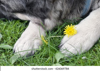 Dog sleeping on a grass with dandelion next to it legs, cropped closeup shot