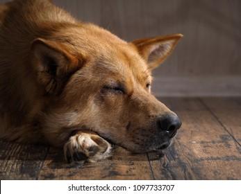 Dog sleeping on a wooden floor. Portrait of big red dog