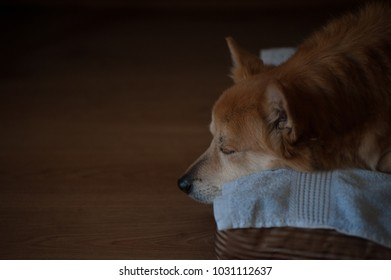 a dog sleeps on his pillow,