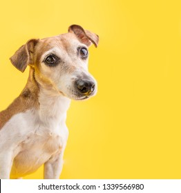 Los ojos inteligentes del perro parecen. Asombroso retrato de perro sobre fondo amarillo. Cara de mascota corta