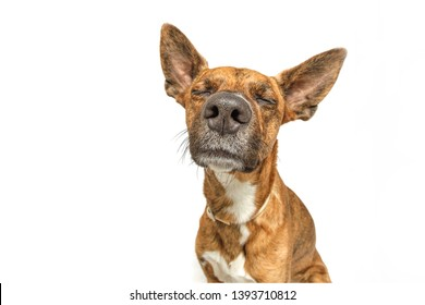 dog smelling with white background