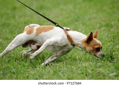 A dog smells something in the grass and drag the leash