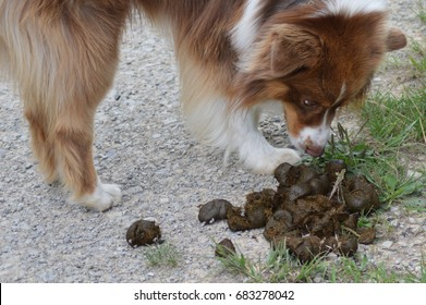 Dog is sniffing horsepicks