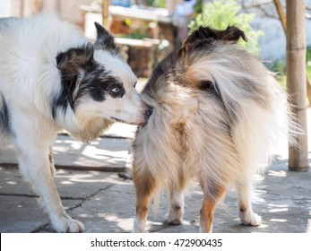 Dog sniffing other dog's rear before they have sex, close-up