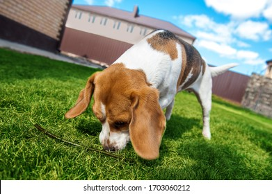the dog sniffs the ground. dog looking for something in the grass