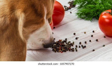 Dog sniffs pepper close-up view. Beagle found healthy fresh vegetables on wooden table.
