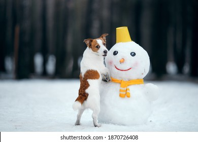 dog in snowy winter makes a snowman. Jack Russell Terrier in a scarf. Pet in nature
