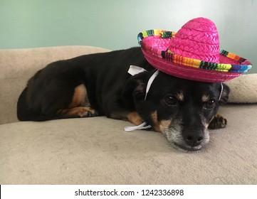 Dog in sombrero, cinco de mayo dog