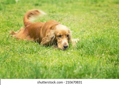 Dog spaniel lying and wags his tail on the green meadow