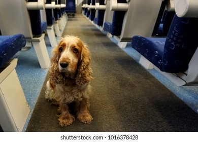 The dog spaniel sits in the aisle between the chairs in the train.