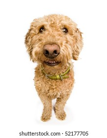 A dog (spanish waterdog breed) with a big grin