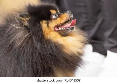 Dog Spitz Close-up